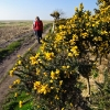 Gorse out in flower at Parkgate